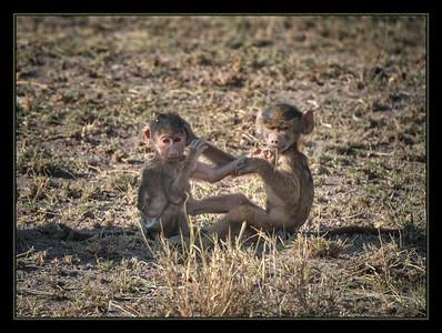 Who? Us? Baby baboons in Amboseli National Park, Kenya.