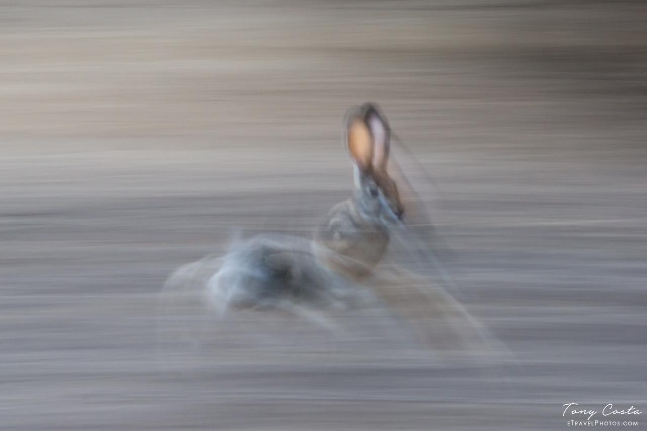 Slow Pan Scub Hare