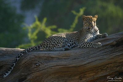 Leopard Relaxing on a log