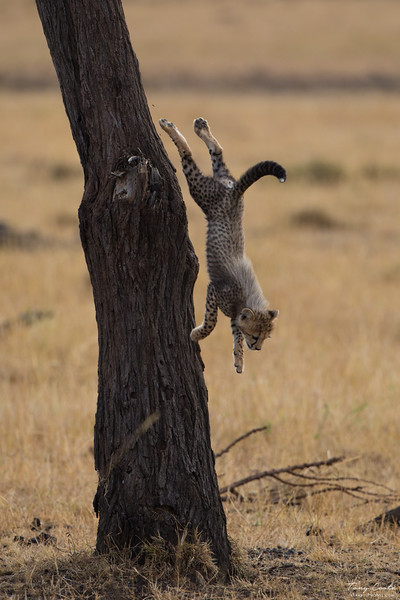 Cheetah cub jumping