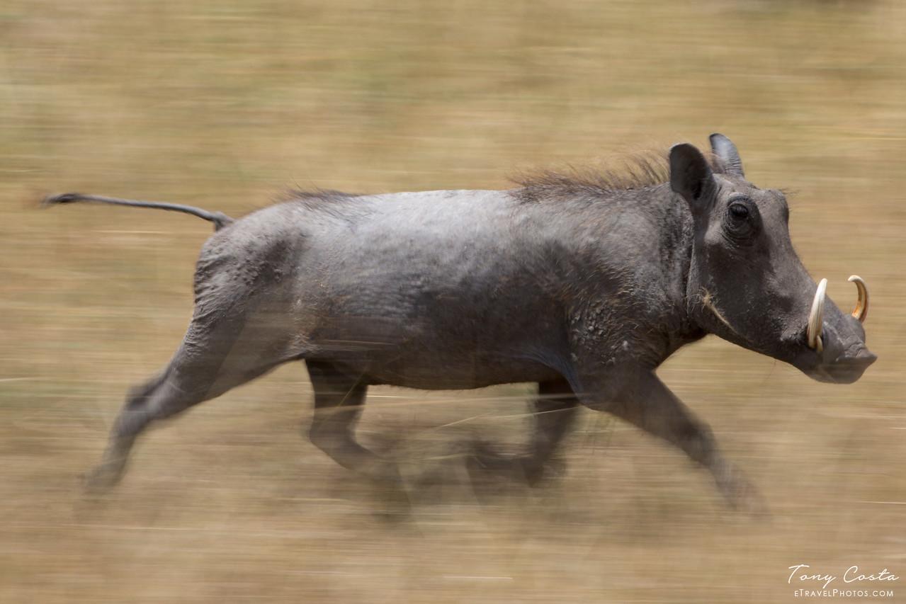 Slow Pan Warthog