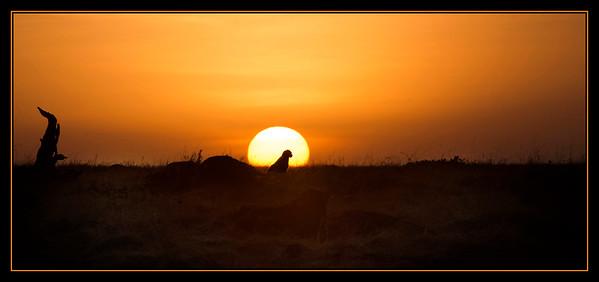 Cheetah at Sunrise, Mara North Conservancy, Kenya.