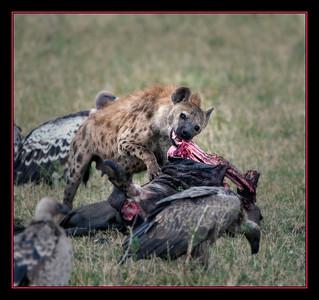 Hyena tears into a wildebeest, Maasai Mara National Reserve, Kenya.