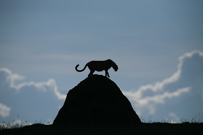 Cheetahs on a termite mound