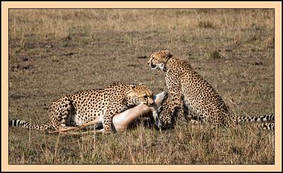 Cheetah Kill, Mara North Conservancy, Kenya.