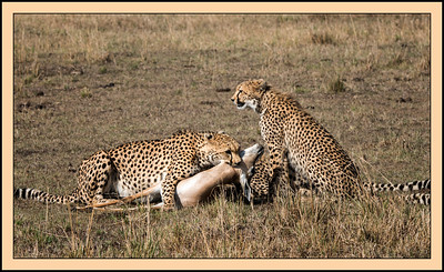 Cheetah Kill, Mara North Conservancy, Kenya.