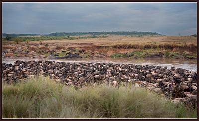 Pre-crossing of the Mara River, Maasai Mara National Reserve, Kenya.