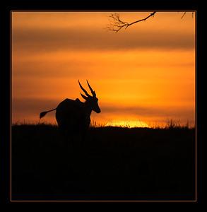 Eland at Sunset, Mara North Conservancy, Kenya.