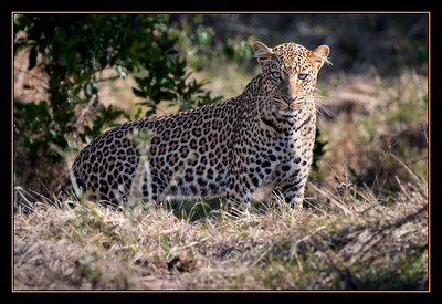 Leopard in the Mara North Conservancy, Kenya