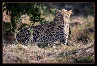 Leopard in the Mara North Conservancy, Kenya
