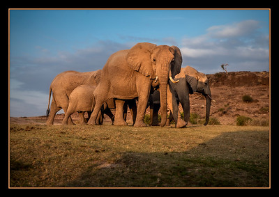 Elephants in Amboseli Park, Kenya.