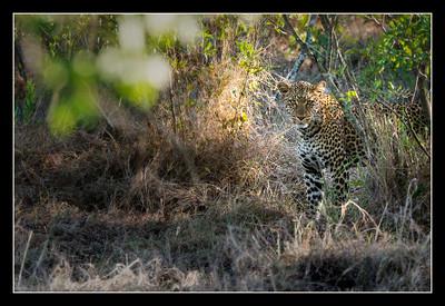 Leopard, Mara North Conservancy, Kenya.