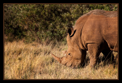 Queen Elizabeth, a rhino at the ol chorro rhino sanctuary, North Mara Conservancy, Kenya.