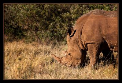 Queen Elizabeth, a rhino at the ol chorro rhino sanctuary, North Mara Conservancy, Kenya.