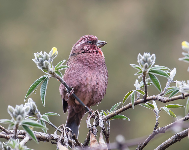 Dark-rumped Rosefinch