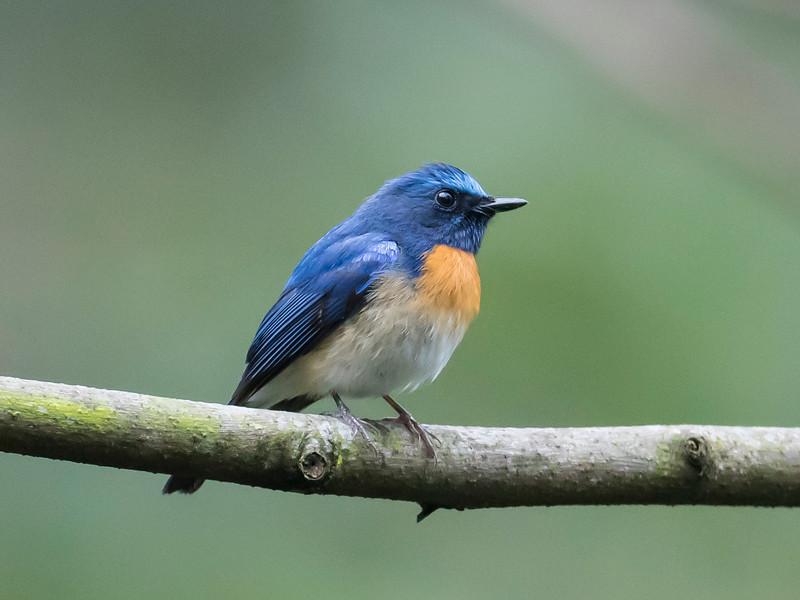 Blue-throated Blue-flycatcher