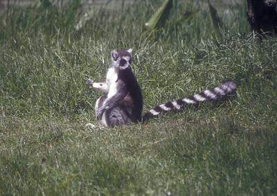 Lemur, Madagascar.