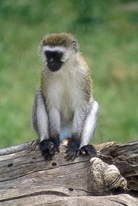Monkey, Madagascar.