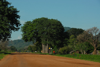 Giant baobab, rural Malawi.