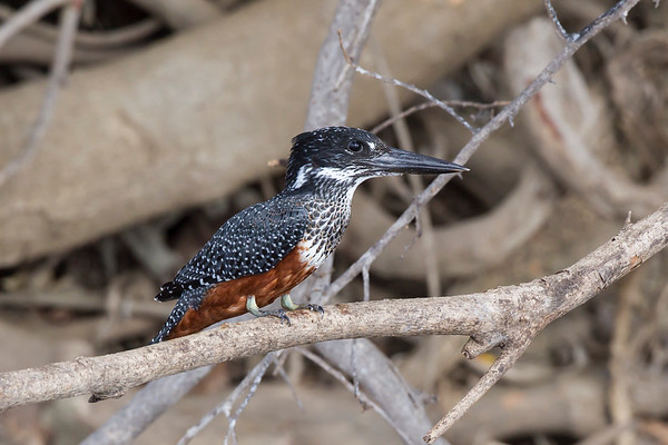 African Giant Kingfisher