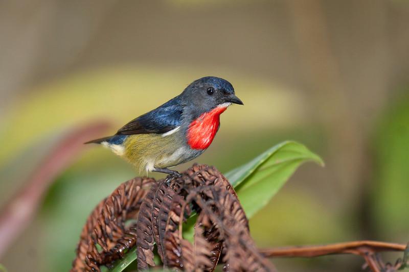 Black-sided Flowerpecker
