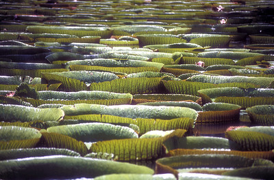 """Victoria Amazonica"" water lillies in the Sir Seewoosagur Ramgoolam Botanic Gardens, Mauritius."