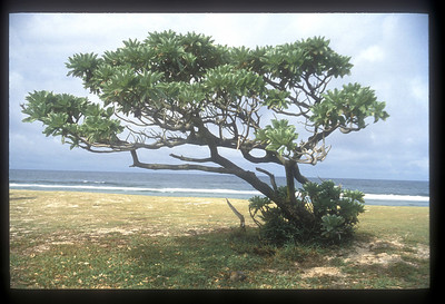 Wind beaten tree on the beach, northern Mauritius.