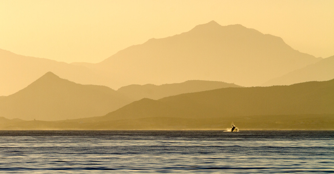 Breaching Humpback Whale At Sunset, Gulf Of Mexico, Baja California Sur, Mexico, North America