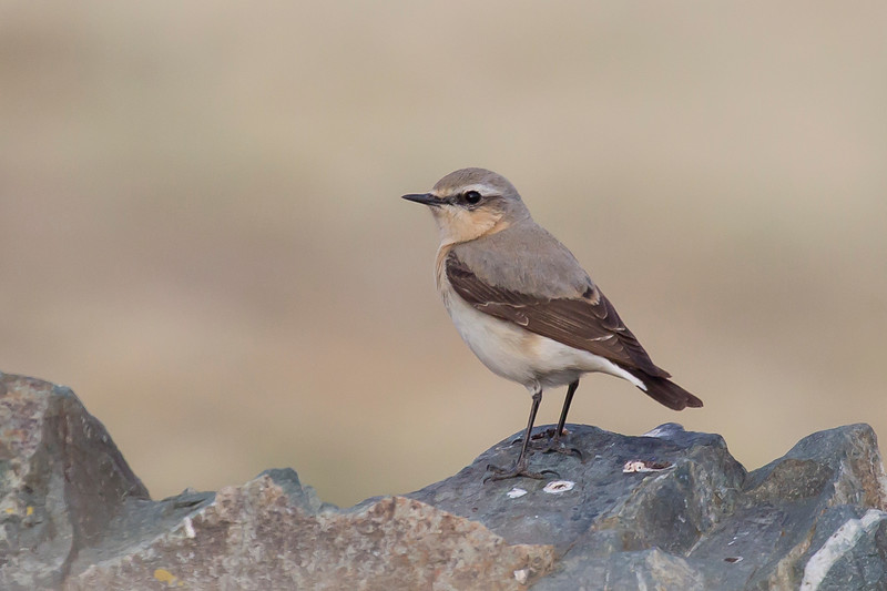 Northern Wheatear