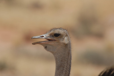 Ostrich, Namibia.