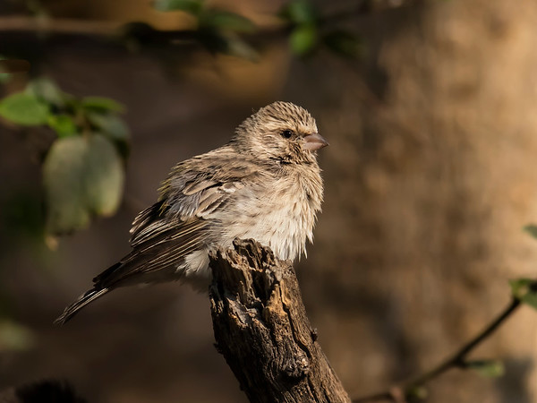 Black-thoated Canary