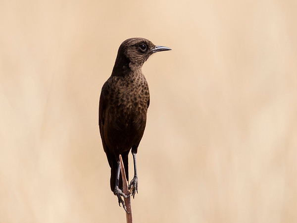 Southern Anteater-chat