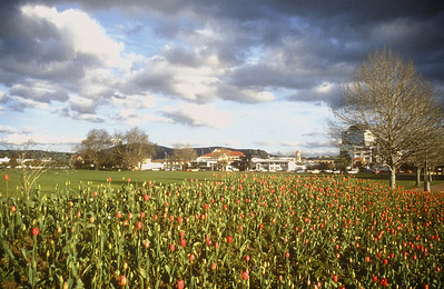 Field of tulips, Rotorua, New Zealand.