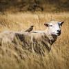 New Zealand Sheep 2