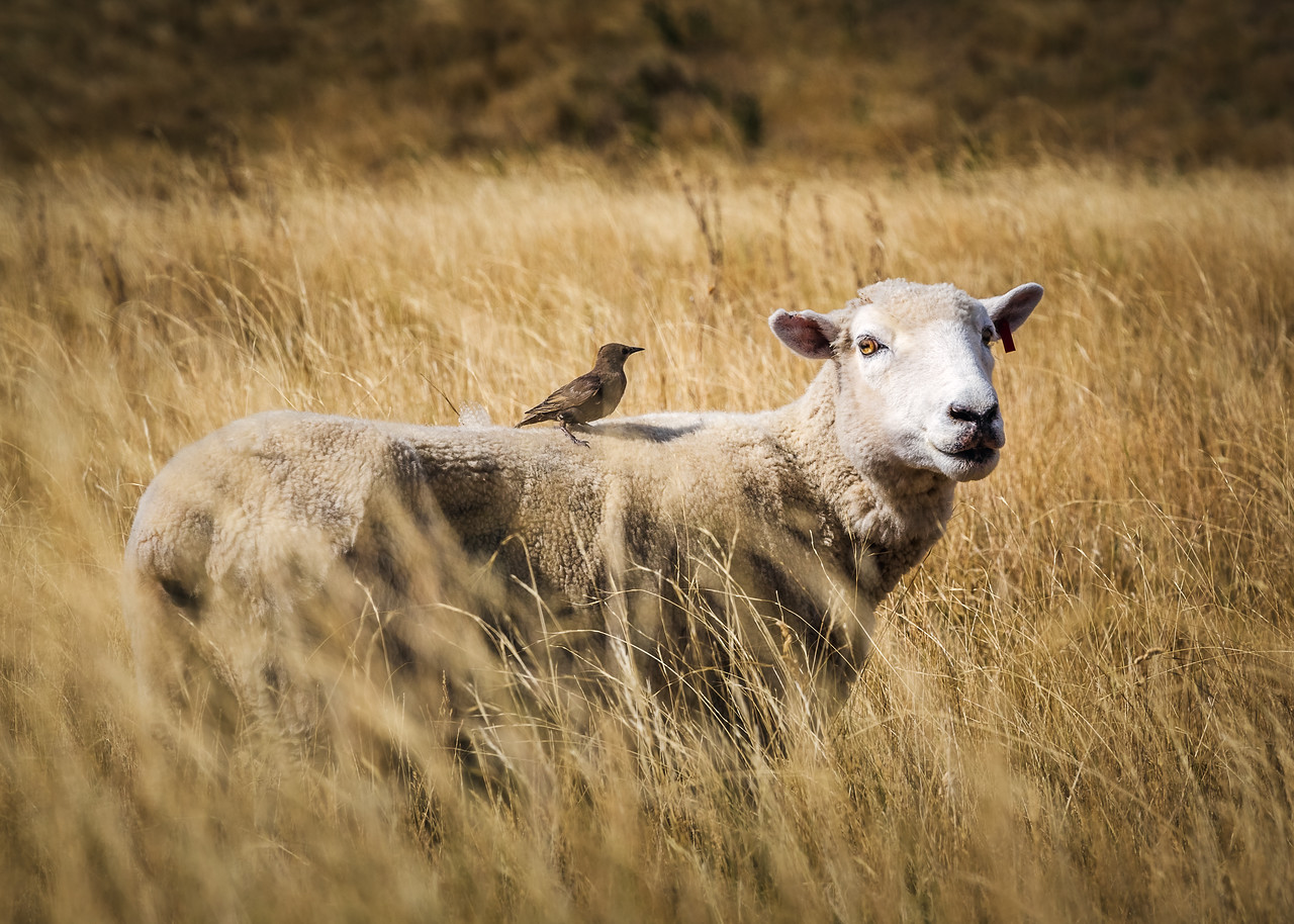 New Zealand Sheep 2