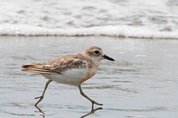 Northern Red-breasted Plover