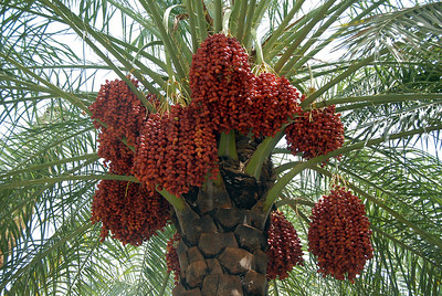 Date palms, rural Oman.