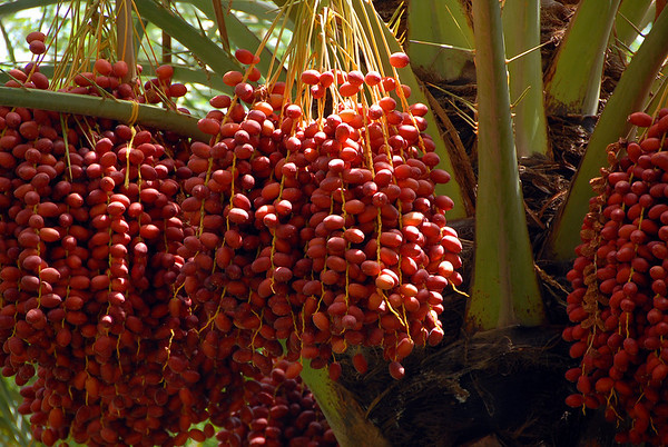 Detail of dates on date palm, rural Oman.