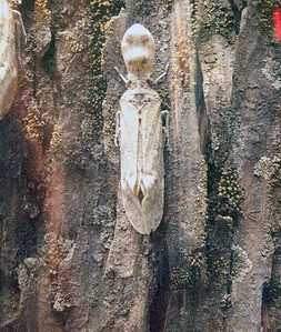 "Fulgora laternaria, the ""peanut bug,"" Panama City, Panama."