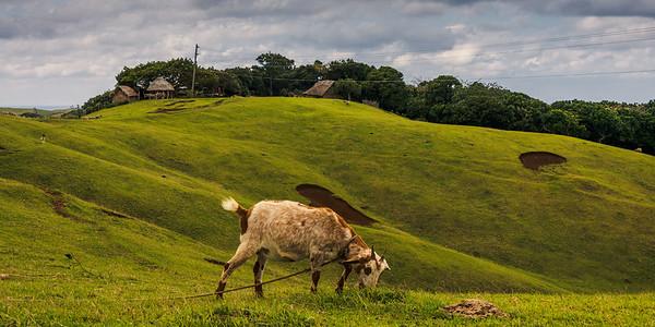 Itbayat 19: Grazing Goat