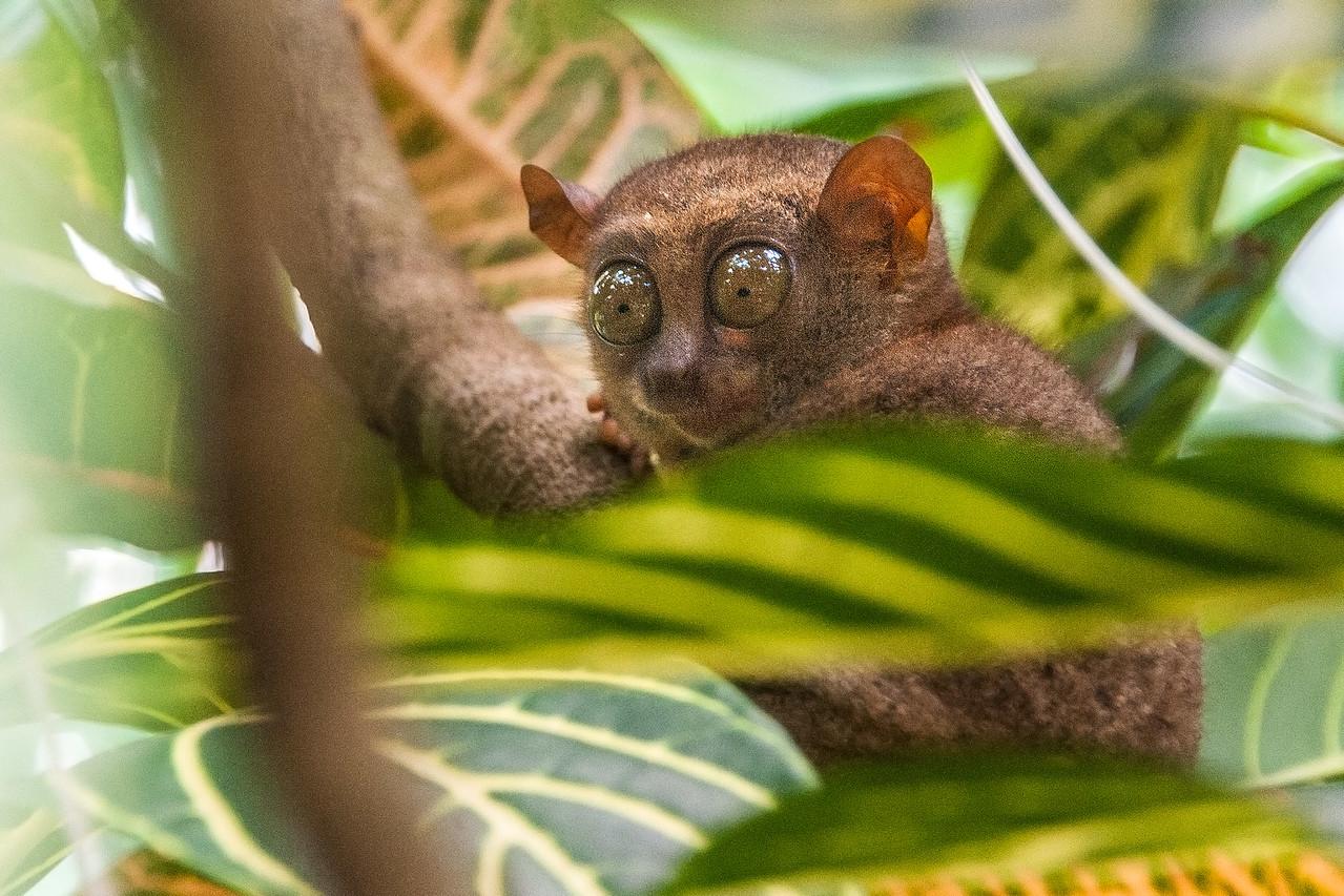 Bohol 16 - Tarsir Monkey