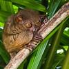 Bohol 14- Tarsir Monkey