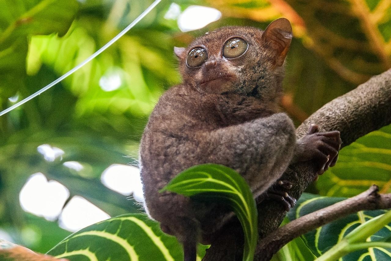 Bohol 18 - Tarsir Monkey