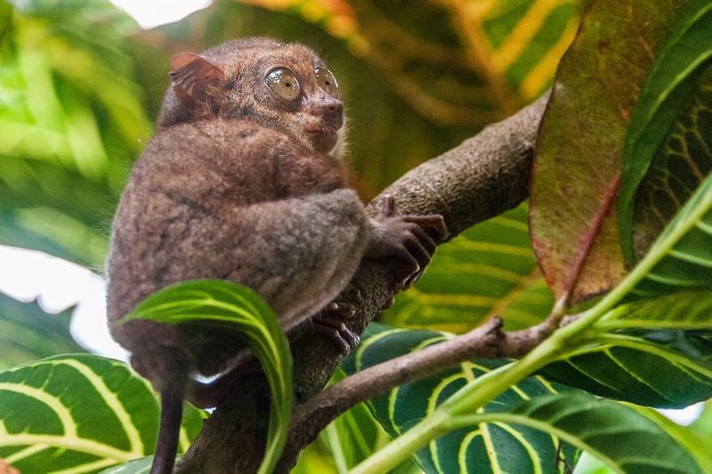 Bohol 17 - Tarsir Monkey