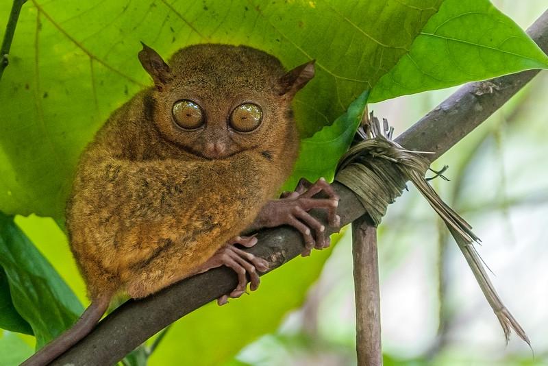 Bohol 15 - Tarsir Monkey