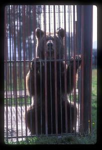 Bear in a cage outside a restaurant on the road to Bran, Transylvania, Romania.