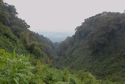 Jungle mountain gorilla habitat, Parc National des Volcans, Rwanda.
