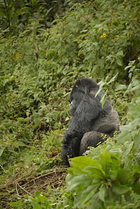 Silverback Gorilla at the Parc National des Volcans, Rwanda.