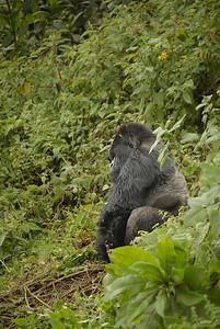 Silverback Gorilla at the Parc National des Volcans, Rwanda.