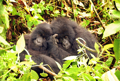 Mountain gorillas, Parc National des Volcans, Rwanda.